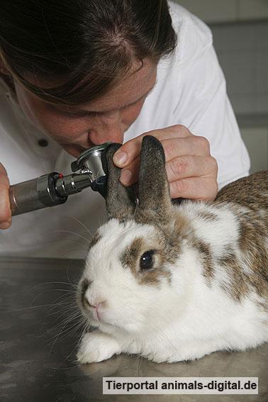 Kaninchen bei der Ohrenuntersuchung - a-d2008_1459