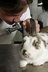 Kaninchen bei der Ohrenu..