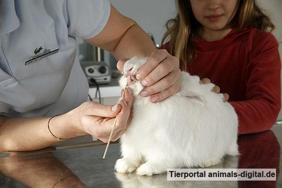 Zahnuntersuchung eines Kaninchens - a-d2008_2941