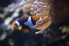 Clownfisch und Seeanemon..