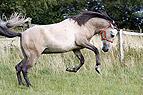 Pferd buckelt