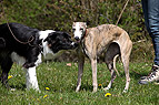 Galgo und Border Collie