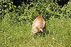 Bullmastiff kotet