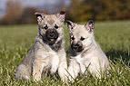 Norwegischer Buhund Welp..