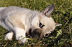 Norwegischer Buhund Welpe