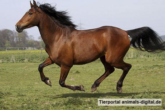Andalusier im Galopp auf der Weide - a-d2009_3822