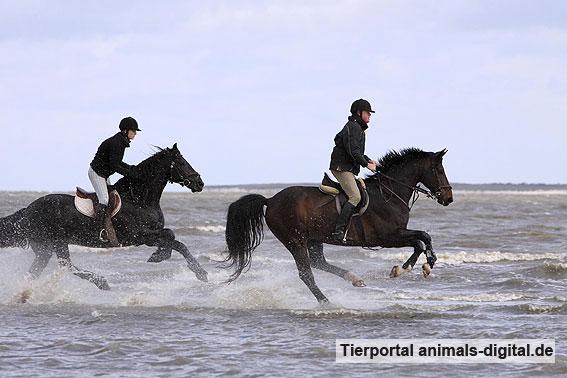 Pferde galoppieren ins Wasser - a-d2009_3871