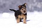 Australian Terrier Welpe