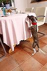 Hund bettelt am Tisch