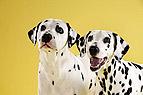 Dalmatiner mit Welpe