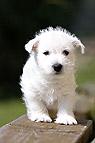 West Highland White Terr..