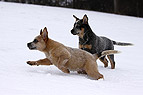 Australian Cattle Dog We..