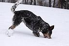 Hund frisst Schnee