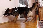 Schimmelsuchhund