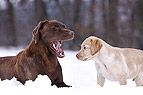 Labrador mit Welpe