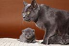 Chartreux mit Kätzchen