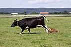 Westerwälder Kuhhund tr..