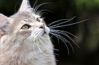 Sibirische Katze