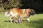 Leonberger mit Welpen