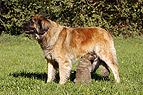 Hund säugt Welpe