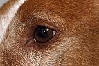 Auge eines Hundes