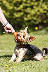 Yorkshire Terrier mit Du..